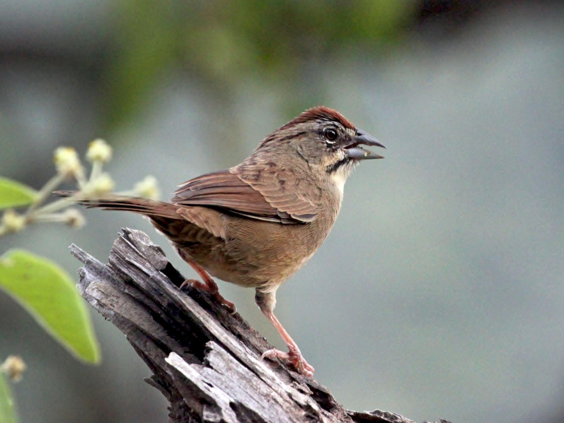 Rusty Sparrow - Charles Gates