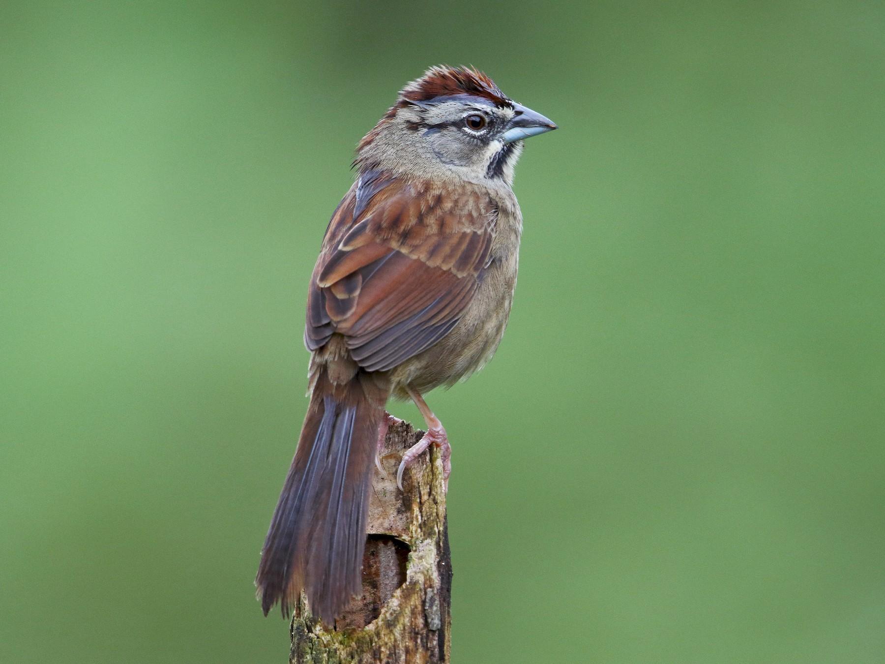 Rusty Sparrow - HBCT 2016 Honduran Roadrunners
