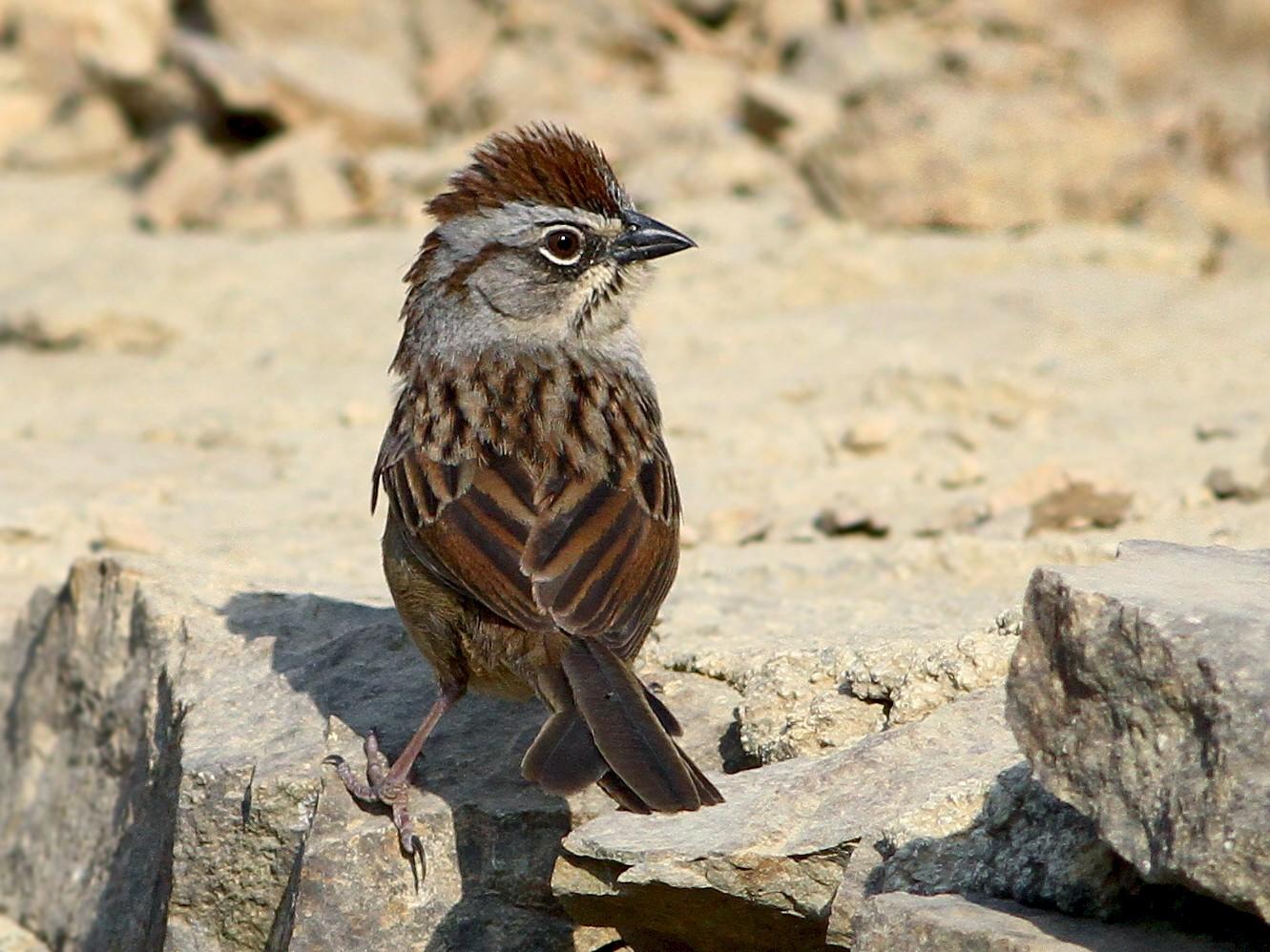 Oaxaca Sparrow - Andrew Spencer