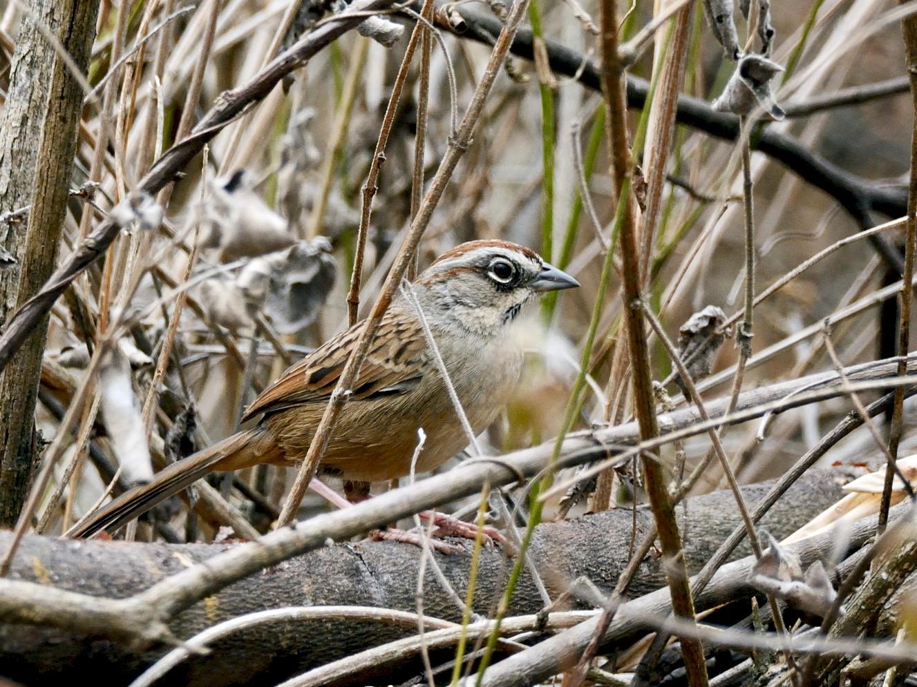 Oaxaca Sparrow - Miguel Angel Aguilar (Birdnomad)