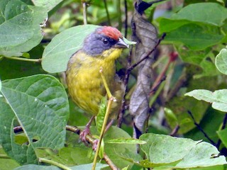 - Rufous-capped Brushfinch