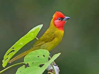 - Red-headed Tanager