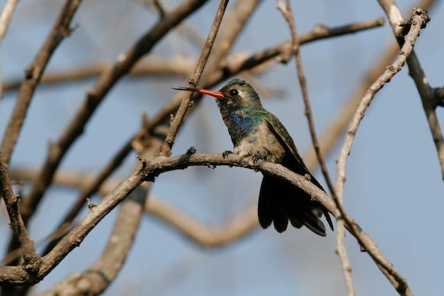 Broad-billed Hummingbird (Doubleday's)