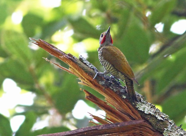 Gray-crowned Woodpecker