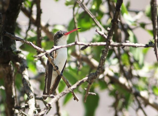Green-fronted Hummingbird