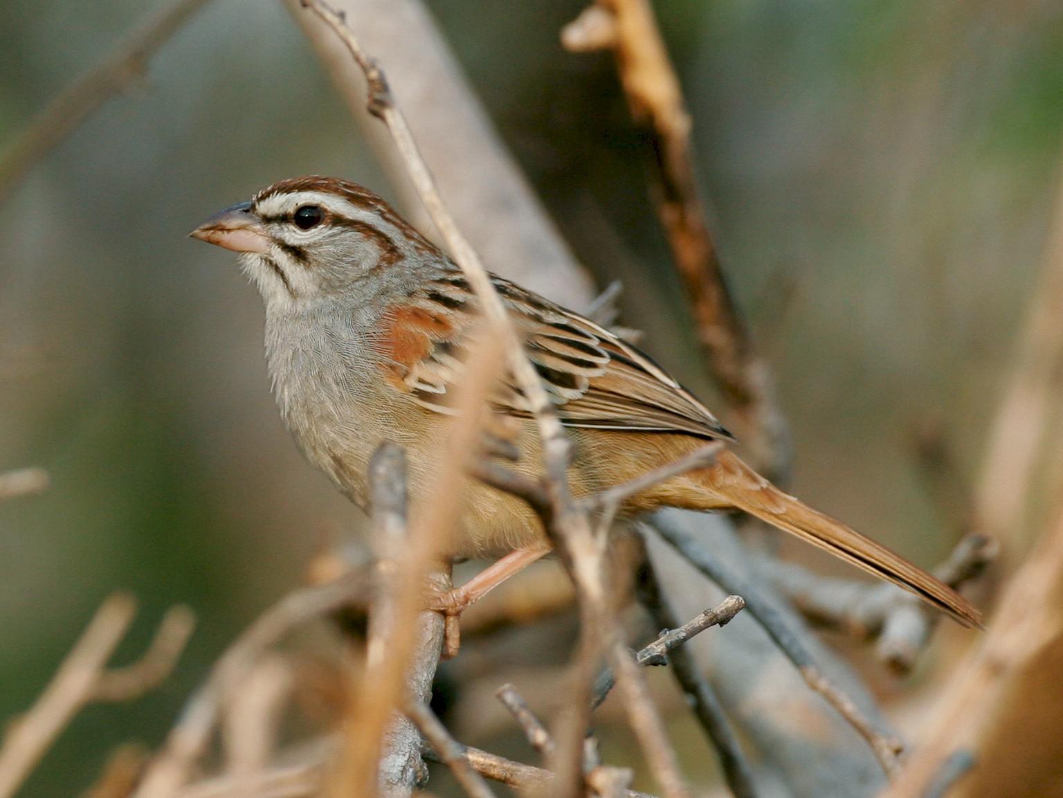 Cinnamon-tailed Sparrow - Chris Wood