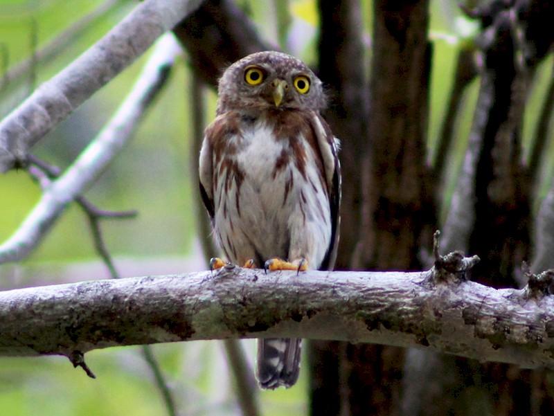 Colima Pygmy-Owl - Julio Alejandro Alvarez Ruiz