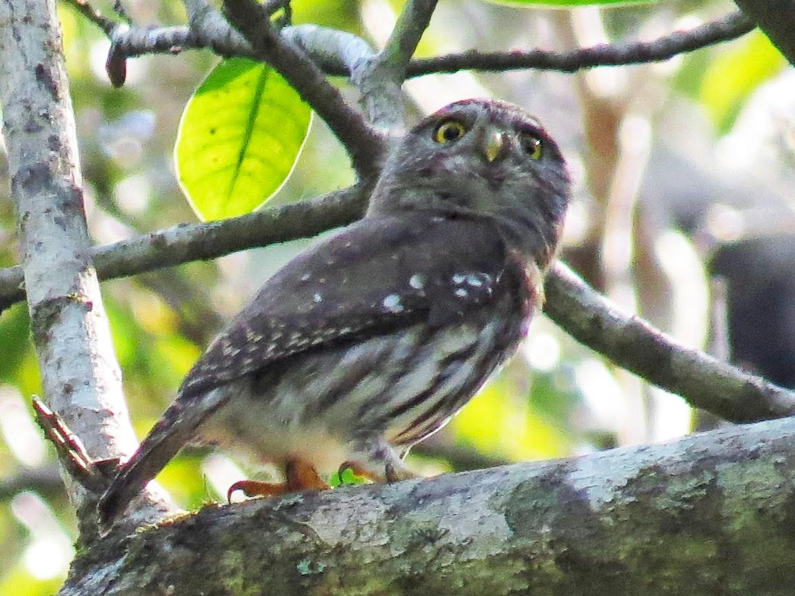 Colima Pygmy-Owl - Manuel LaDroica