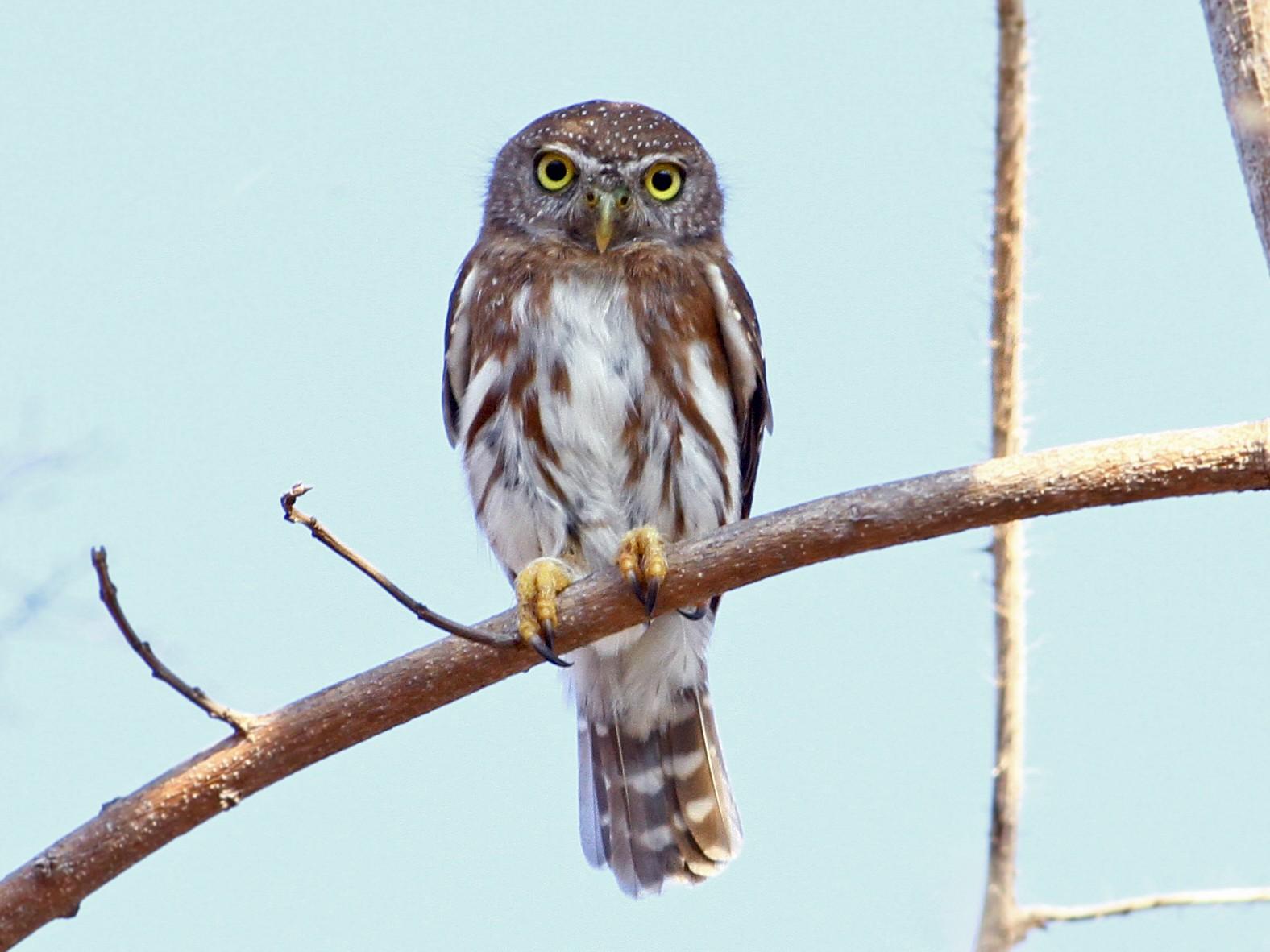 Colima Pygmy-Owl - Andrew Spencer