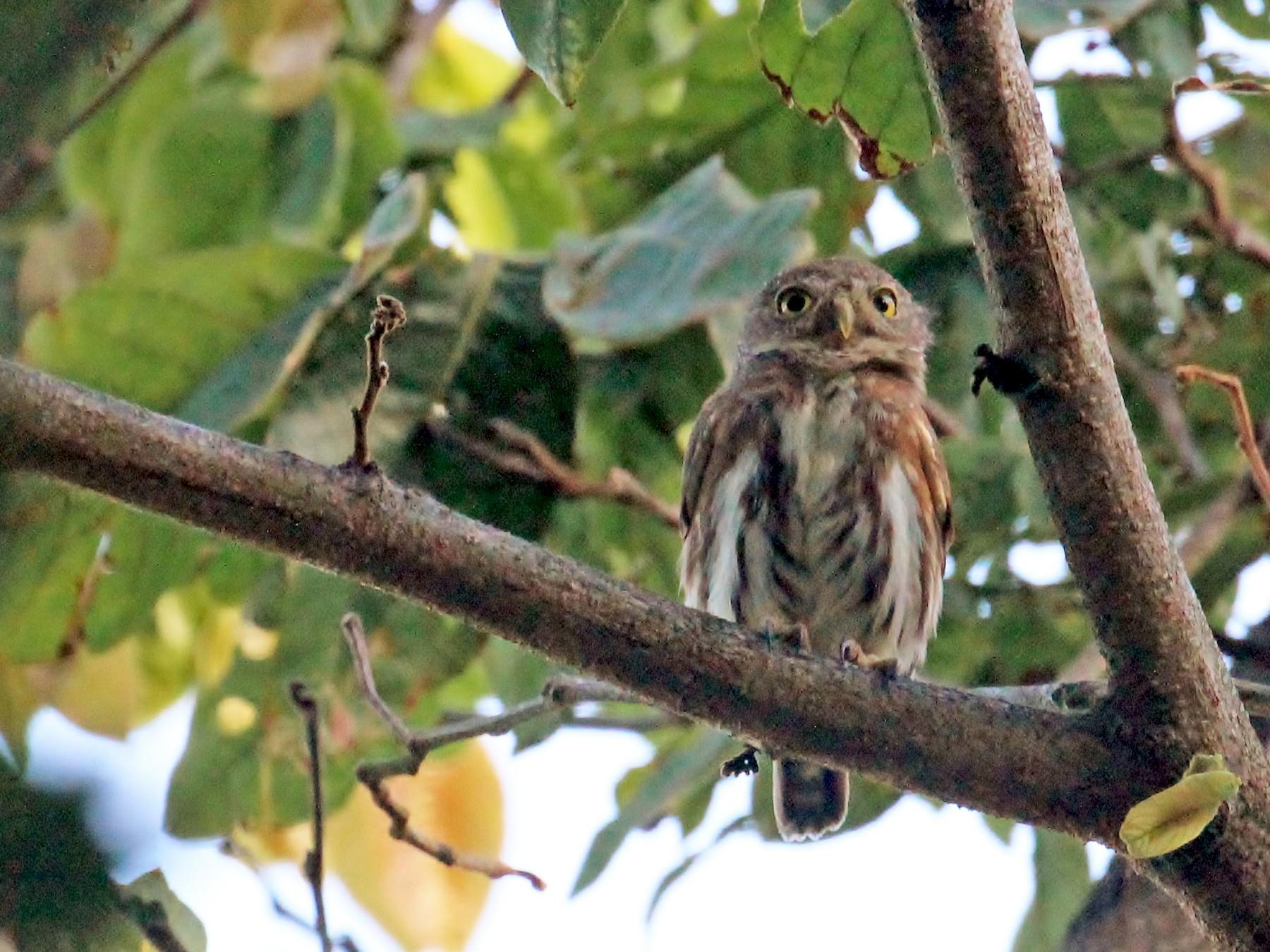 Colima Pygmy-Owl - Charles Gates