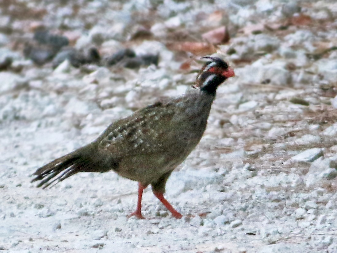 Long-tailed Wood-Partridge - Andrew Spencer