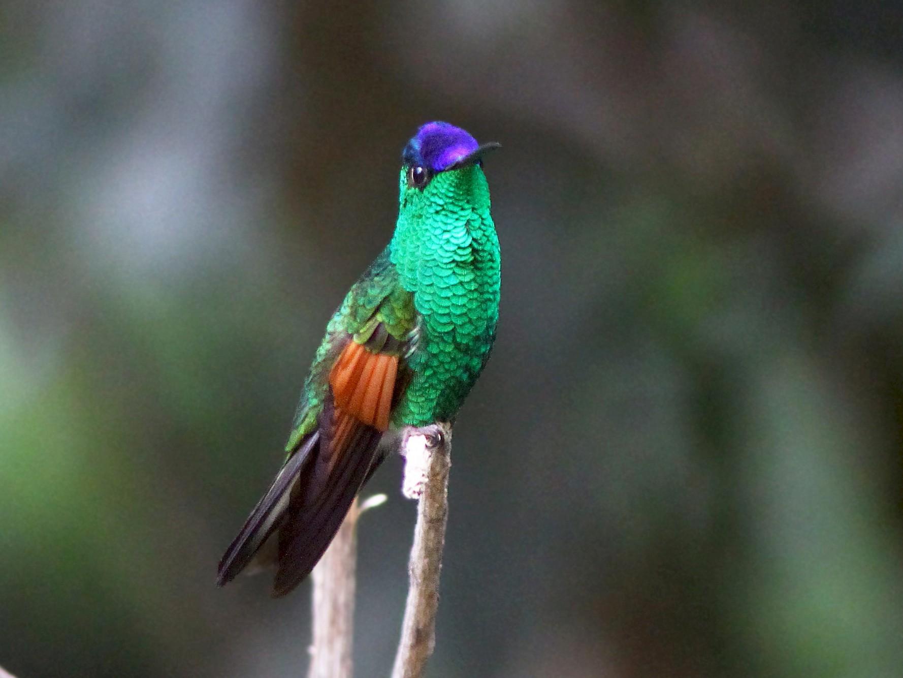Blue-capped Hummingbird - Andrew Spencer