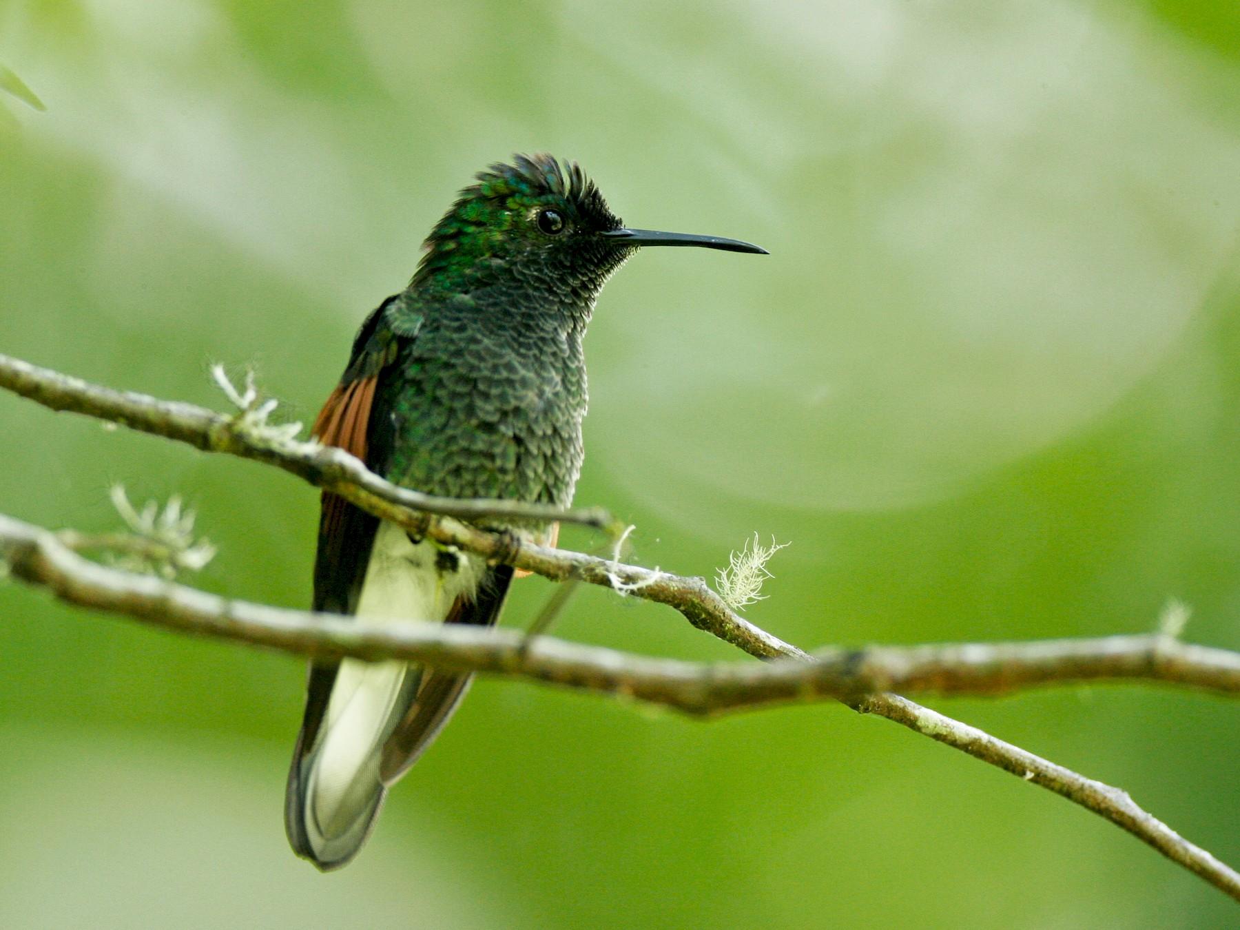 Blue-capped Hummingbird - Chris Wood