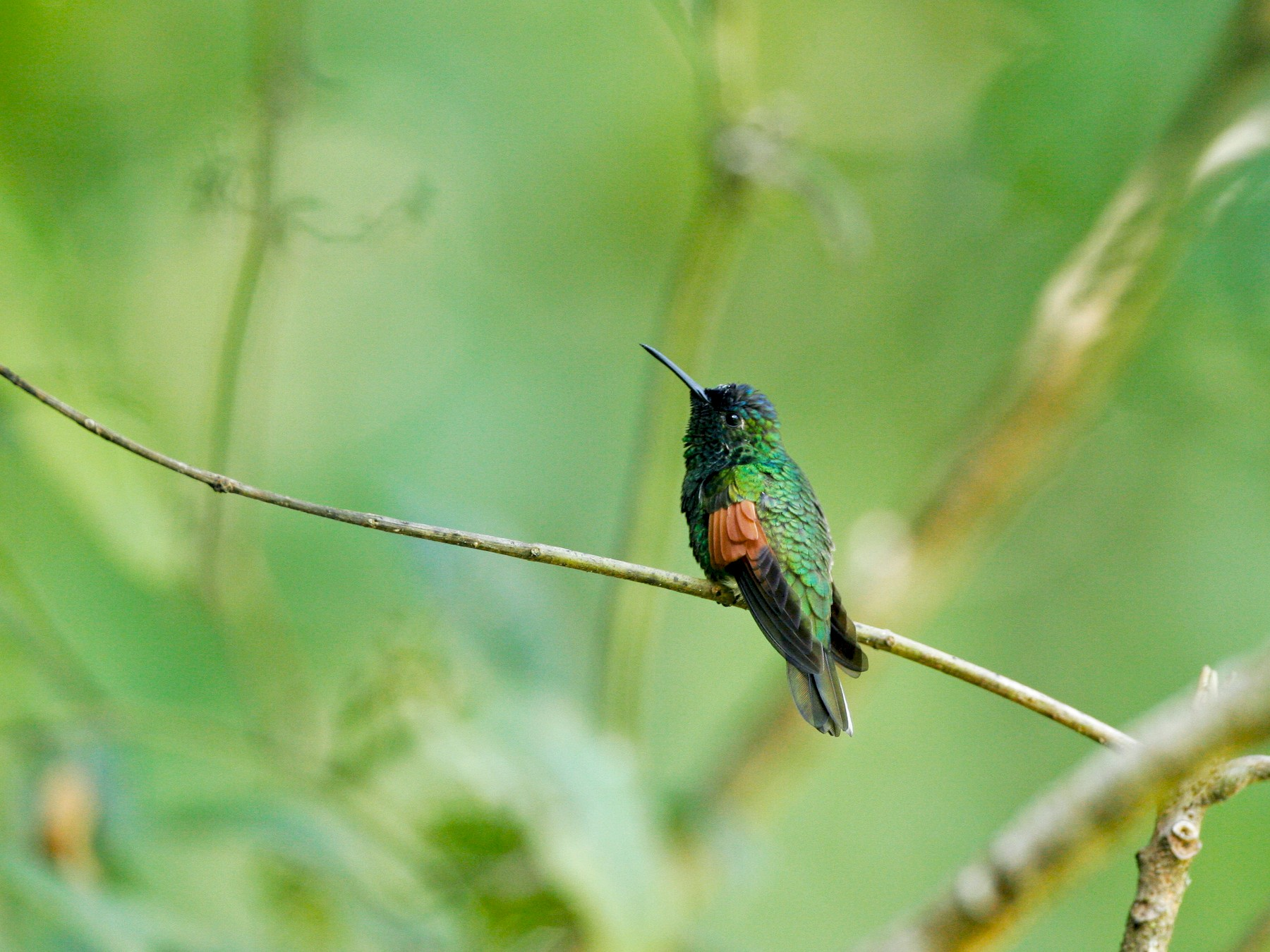 Blue-capped Hummingbird - Chris Wood
