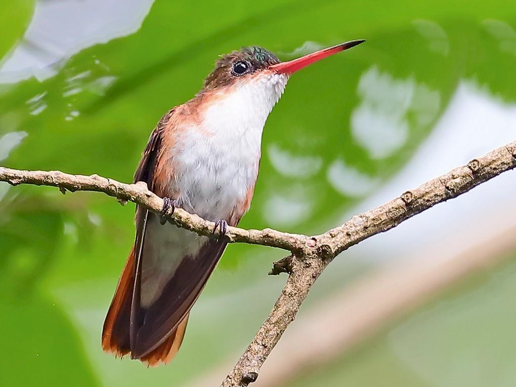 Green-fronted Hummingbird - Greg  Homel