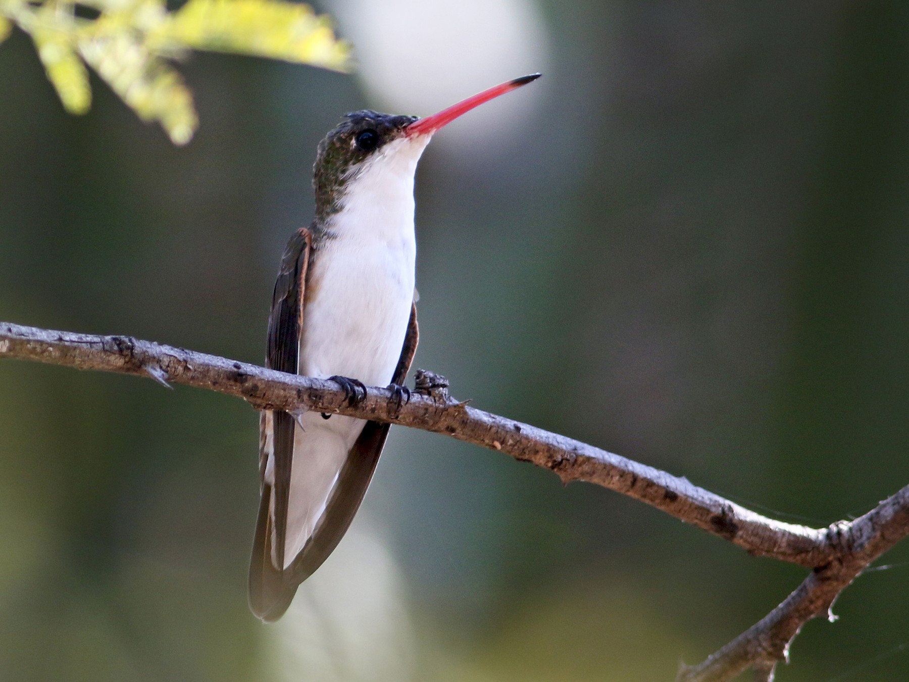 Green-fronted Hummingbird - Andrew Spencer