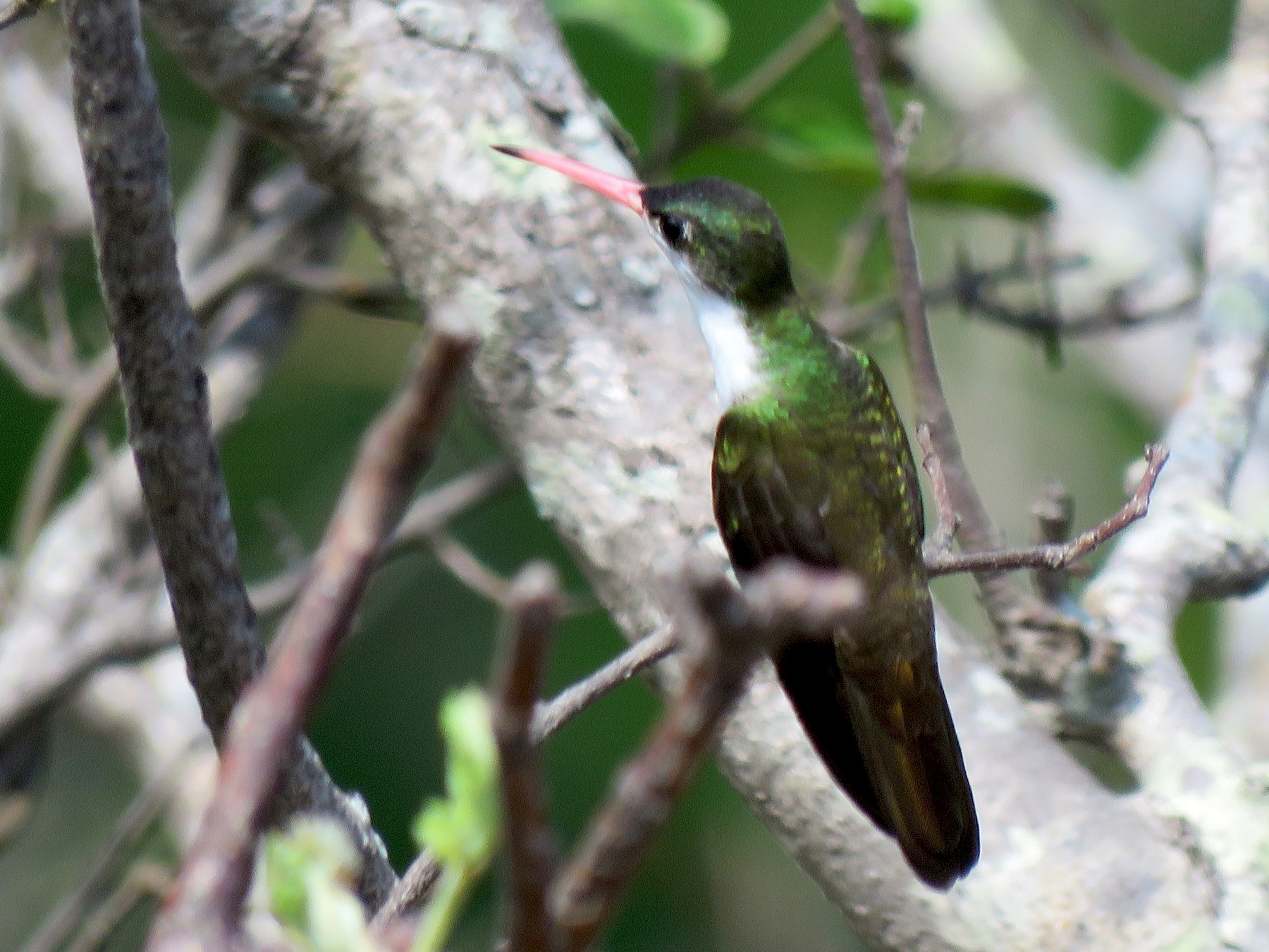 Green-fronted Hummingbird - Jan Hansen