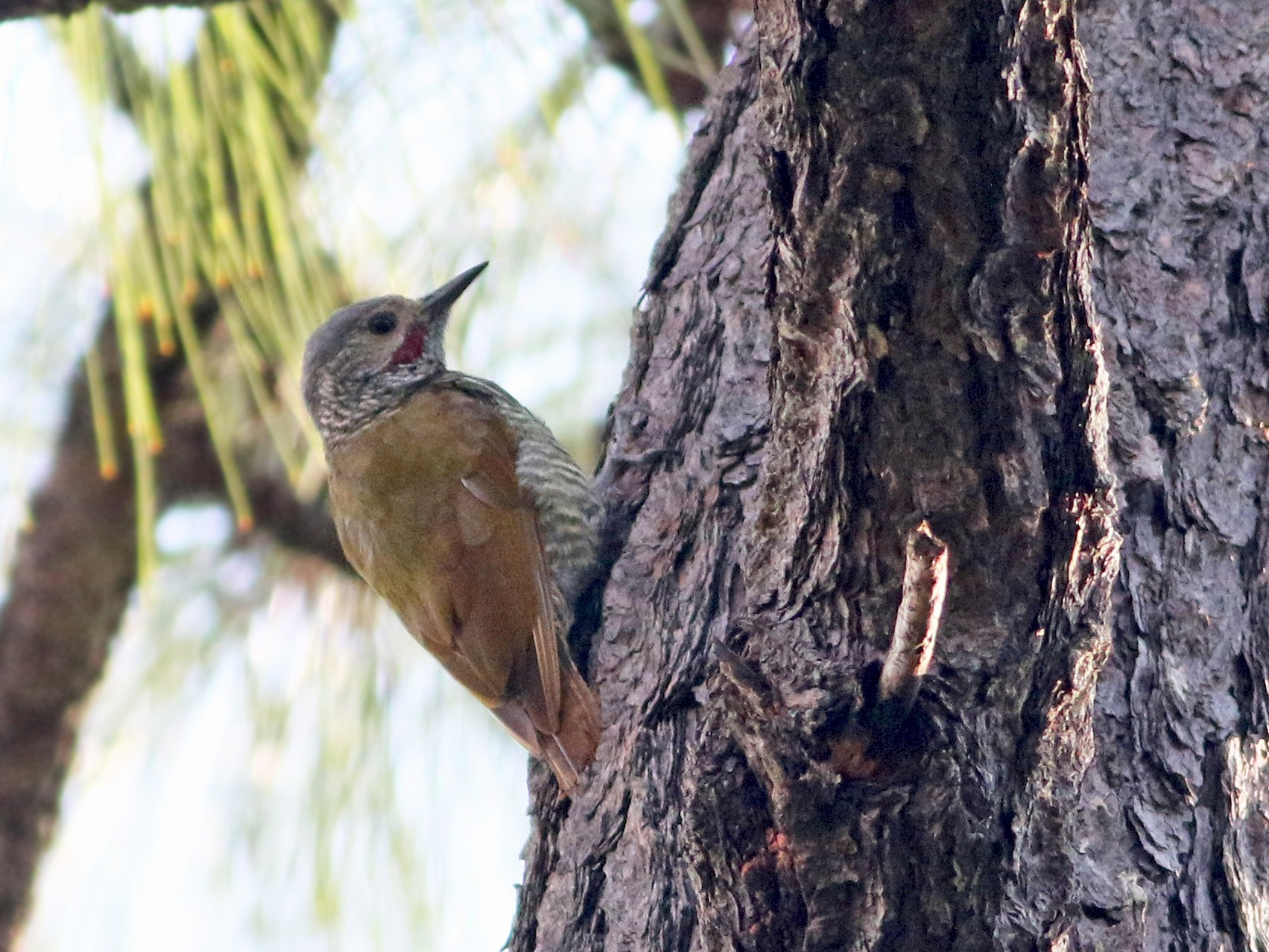 Gray-crowned Woodpecker - Andrew Spencer