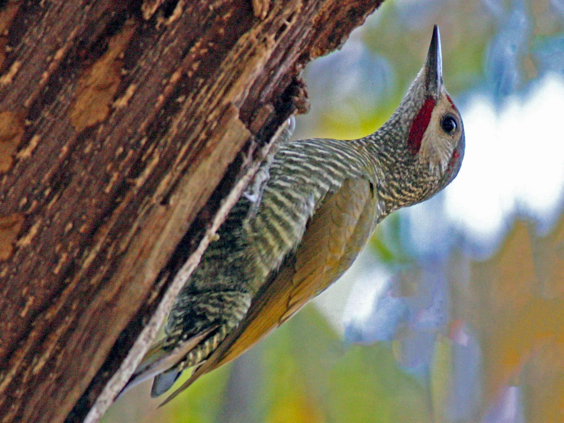 Gray-crowned Woodpecker - Larry Sirvio