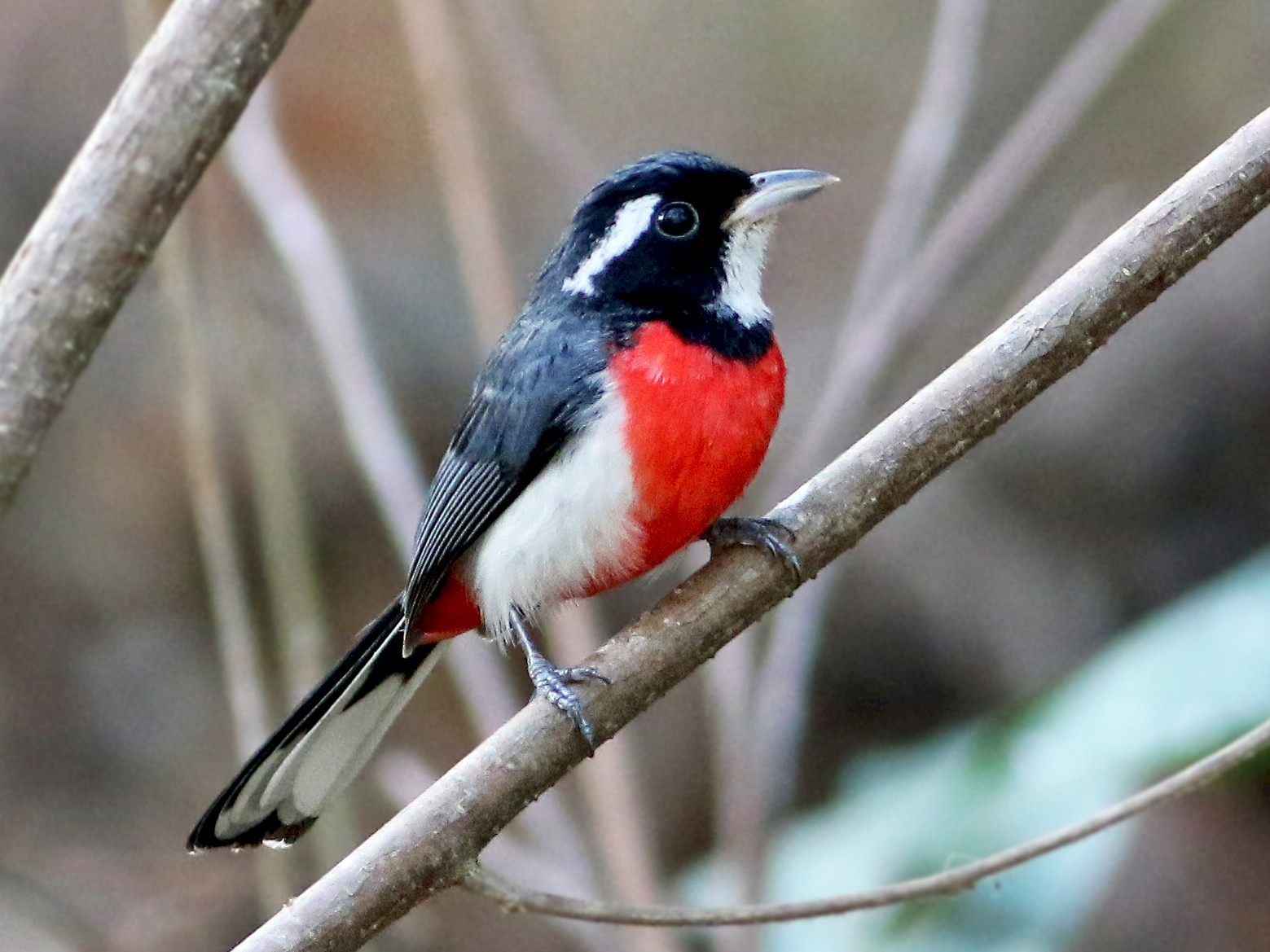 Red-breasted Chat - Andrew Spencer