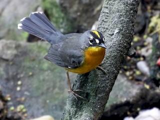 - Fan-tailed Warbler