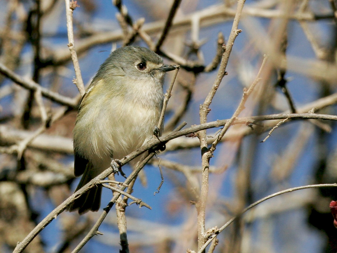 Dwarf Vireo - Chris Wood