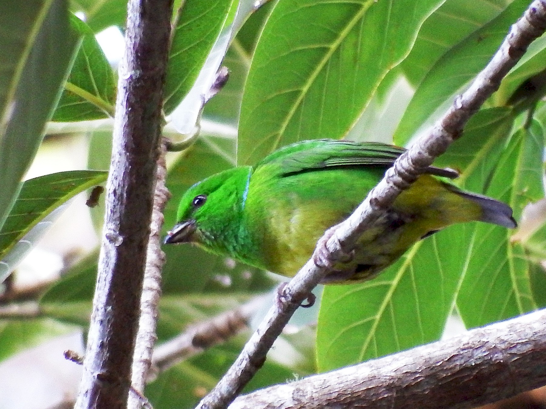 Blue-crowned Chlorophonia - Gilberto Flores-Walter (Feathers Birding)