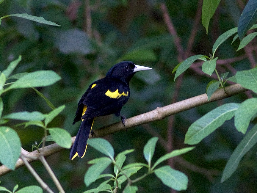 Yellow-winged Cacique - Ryan Shaw