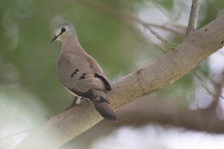 - Black-billed Wood-Dove