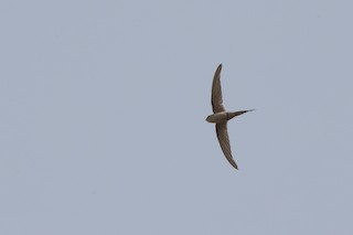 - African Palm-Swift