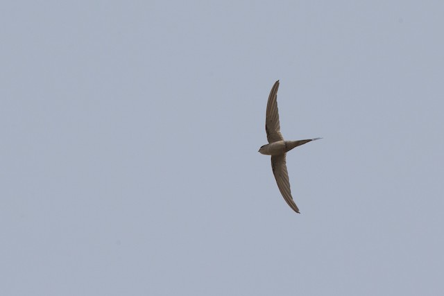 African Palm-Swift