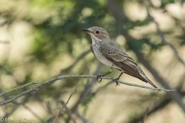 Spotted Flycatcher (Spotted)
