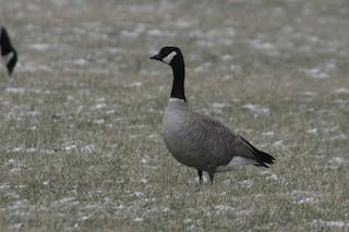Cackling Goose, ML43434641