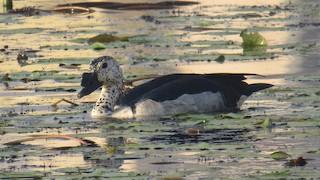 Knob-billed Duck, ML43438601