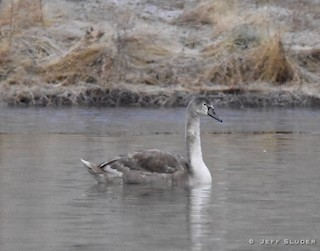 Mute Swan, ML43447211
