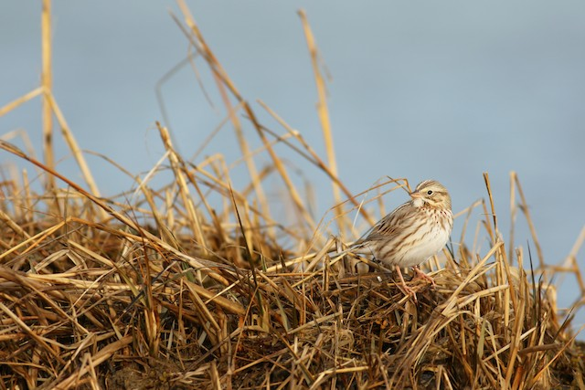 Savannah Sparrow (Ipswich)