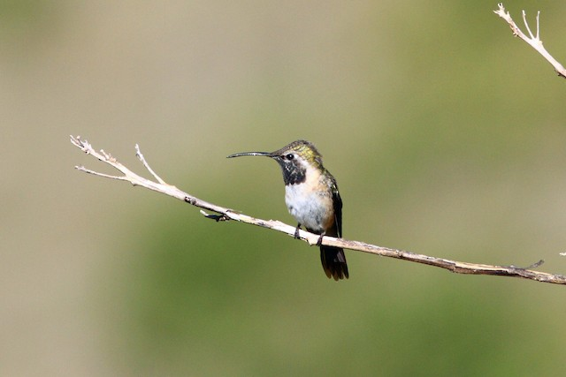 Purple-collared Woodstar