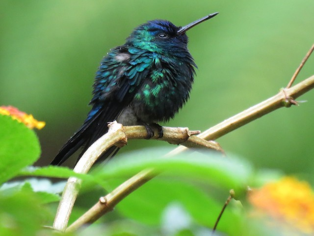 Blue-headed Hummingbird