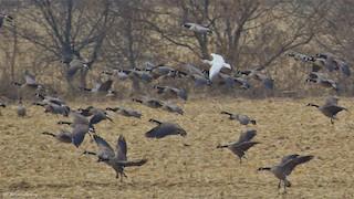 Ross's Goose, ML43693891