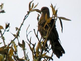 Ruddy Pigeon (Berlepsch's), ML43825761