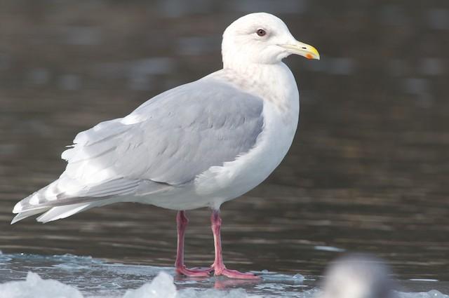 Iceland Gull (kumlieni)