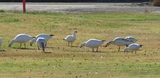 Ross's Goose, ML44010841