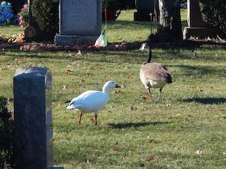 Snow Goose, ML44042811