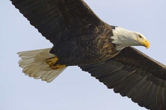©Julie Johnston - Bald Eagle