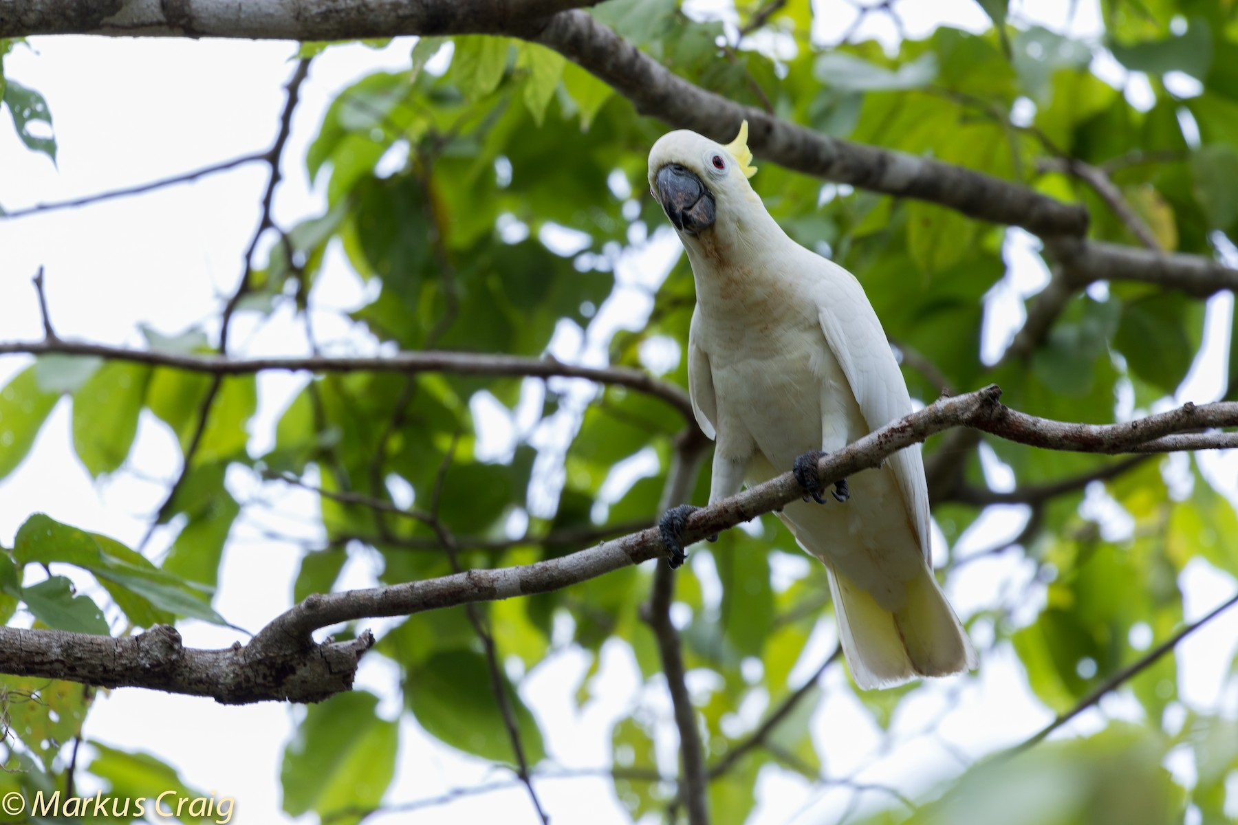 Yellow-crested Cockatoo - Markus Craig