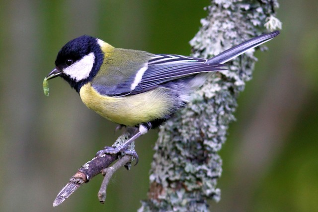 Great Tit (Great)