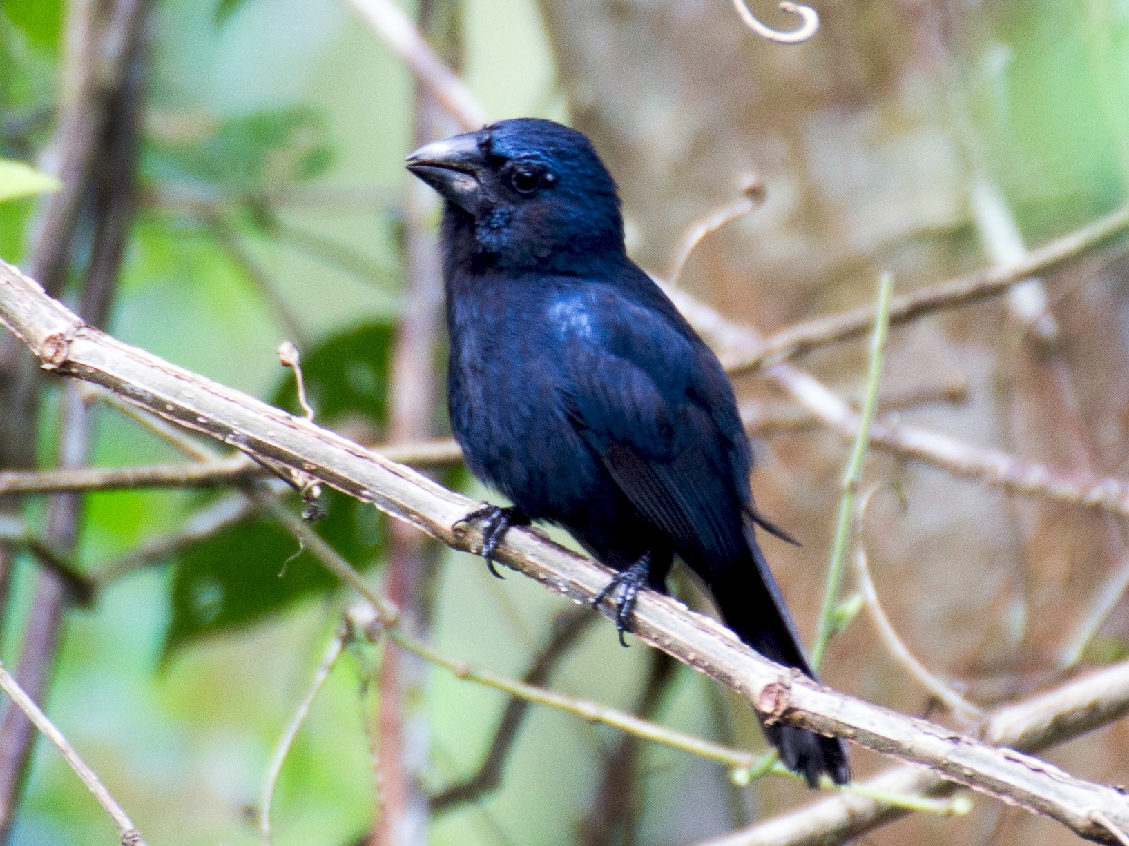 Blue-black Grosbeak - Francis Canto Jr