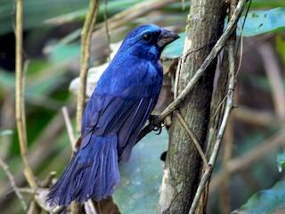 - Amazonian Grosbeak