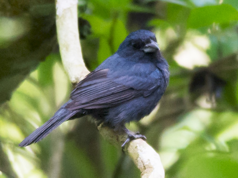 Blue Seedeater - Gordon Karre