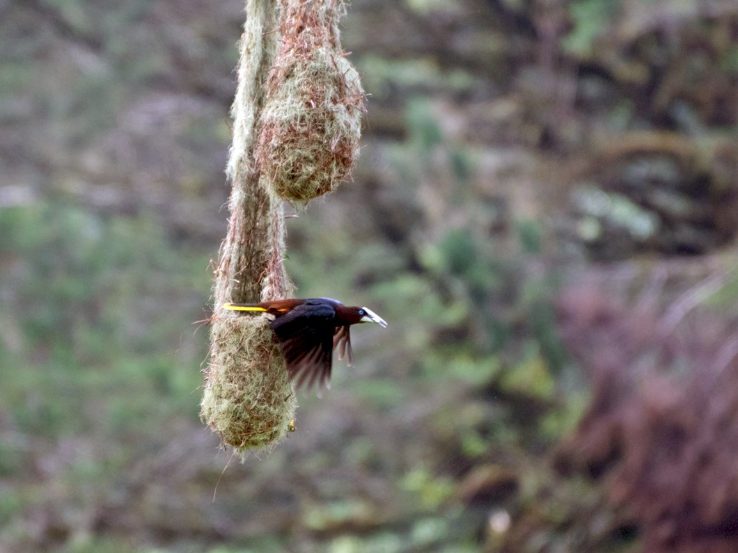 Chestnut-headed Oropendola - César Sánchez